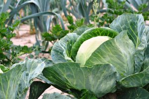 Cabbage: Health Benefits May Surprise You
